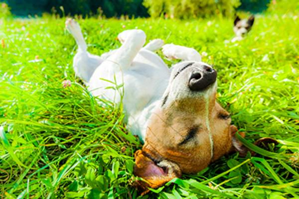 Dog rolling around in the grass outside.