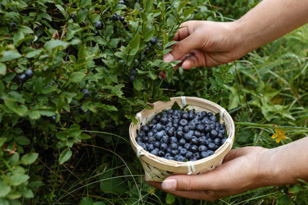 Picking blueberries.