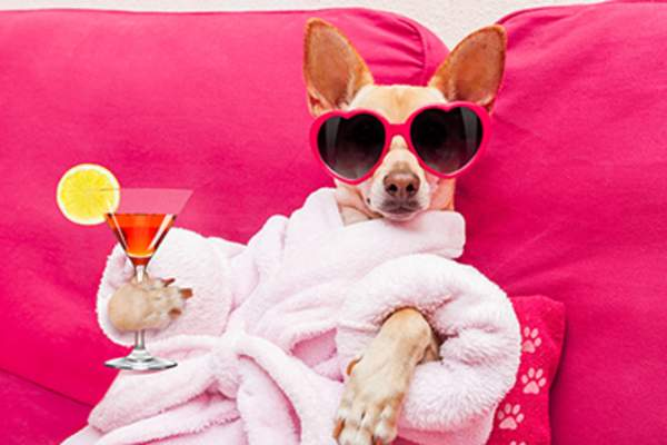 Funny photo of a dog wearing a robe enjoying a cocktail.