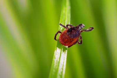 Tick on blade of grass.