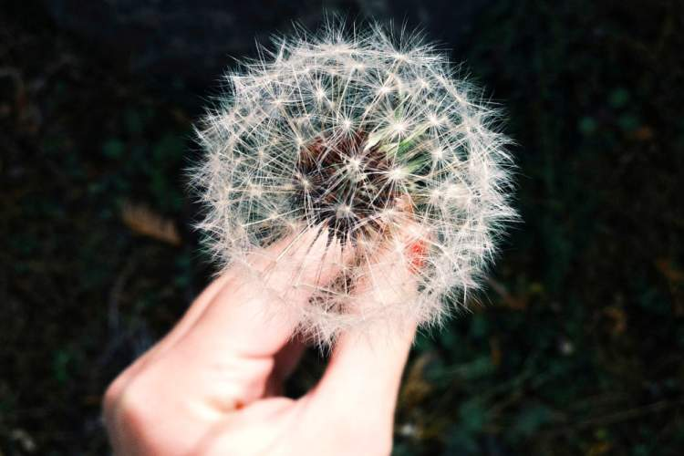 woman's hand holding dandelion