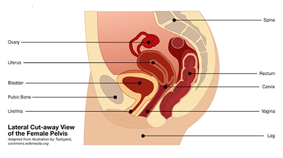 What Is Pelvic Organ Prolapse? My Story-female Pelvis-page 10_560x314.jpg