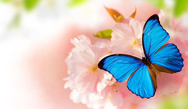 cherry blossom butterfly image