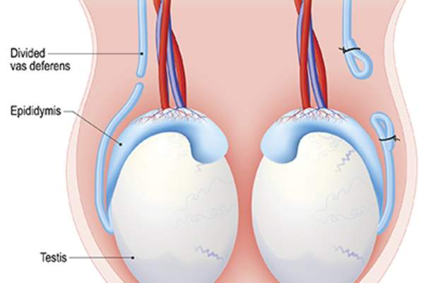 Testicles in anatomy diagram.