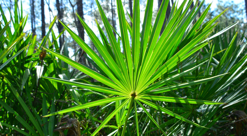Backlit Saw Palmetto Plant