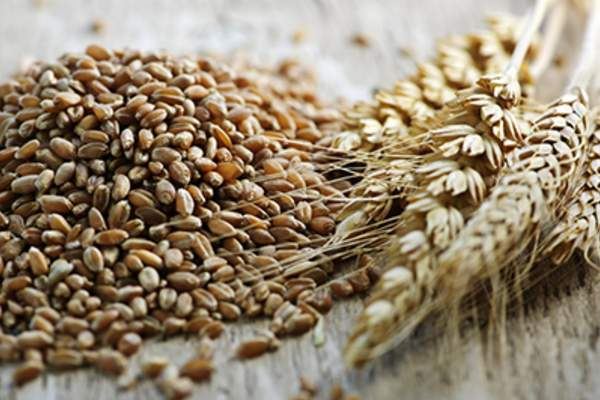 Wheat grains next to whole wheat kernels.