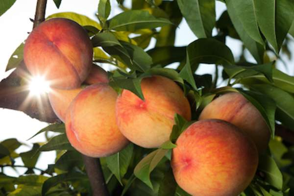 Peaches ripening on tree.