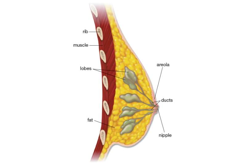 Breast Anatomy illustration