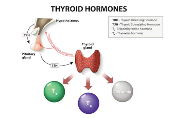 Thyroid hormones image