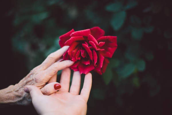 young hand and senior hand touching rose