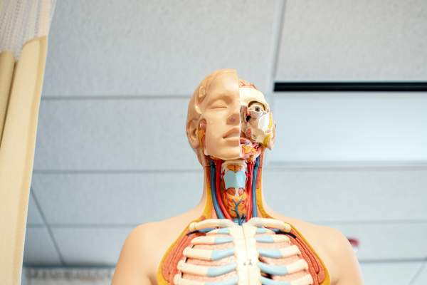 human anatomy doll with interior exposed