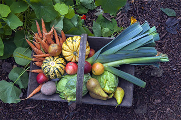 Basket of vegetables in garden from fall harvest.