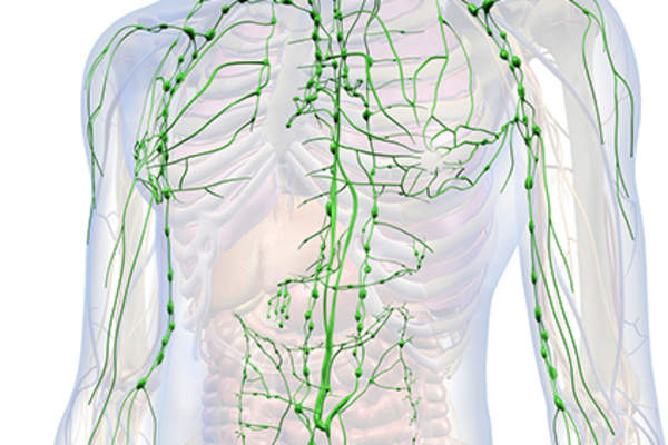 Lymphatic system model.