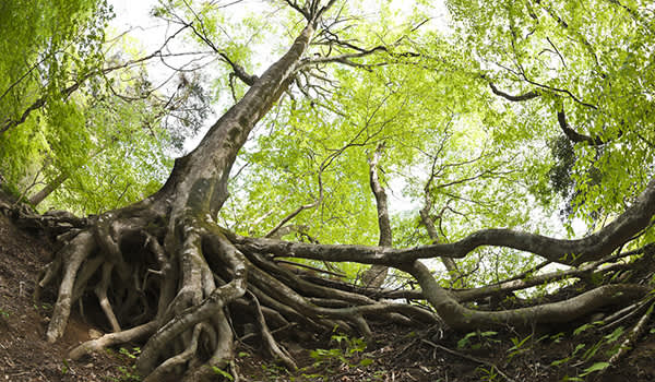 Roots of a tree in a forest.