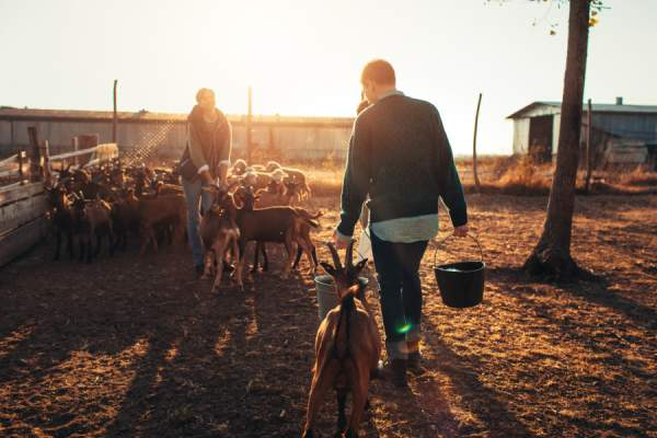 goat milk farm