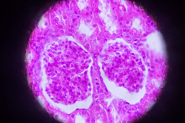 Kidney cross section in microscopy