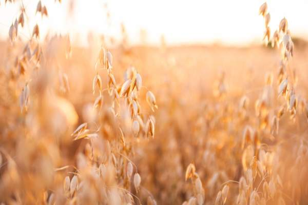 Ripe Oat Field In Summer Sunset