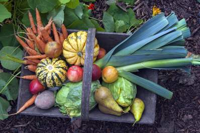Basket in garden containing fall harvest vegetables.