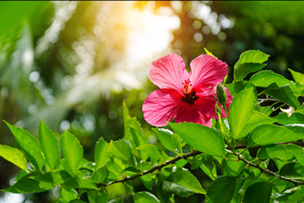 Hibiscus flower and leaves.