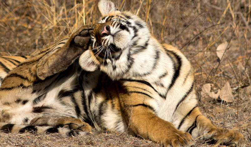 Bengal tiger scratching head.