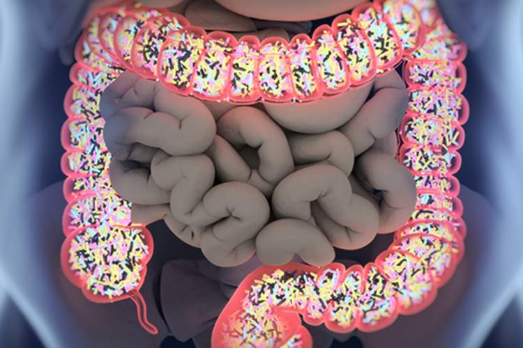 Gut bacteria inside the large intestine.