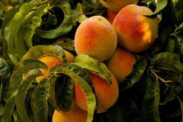 peaches-on-vine-green-leaves.jpg