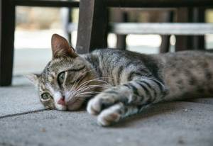 What to Know About Feline Hyperesthesia Syndrome