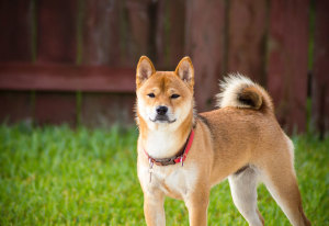 5 Common Shiba Inu Health Concerns