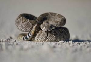 Why California Dog Parents Should be Extra Worried About Rattlesnakes This Year