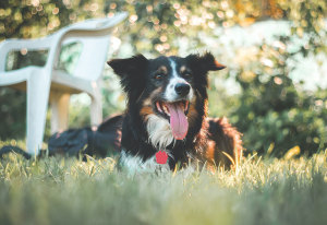 5 Common Border Collie Health Concerns