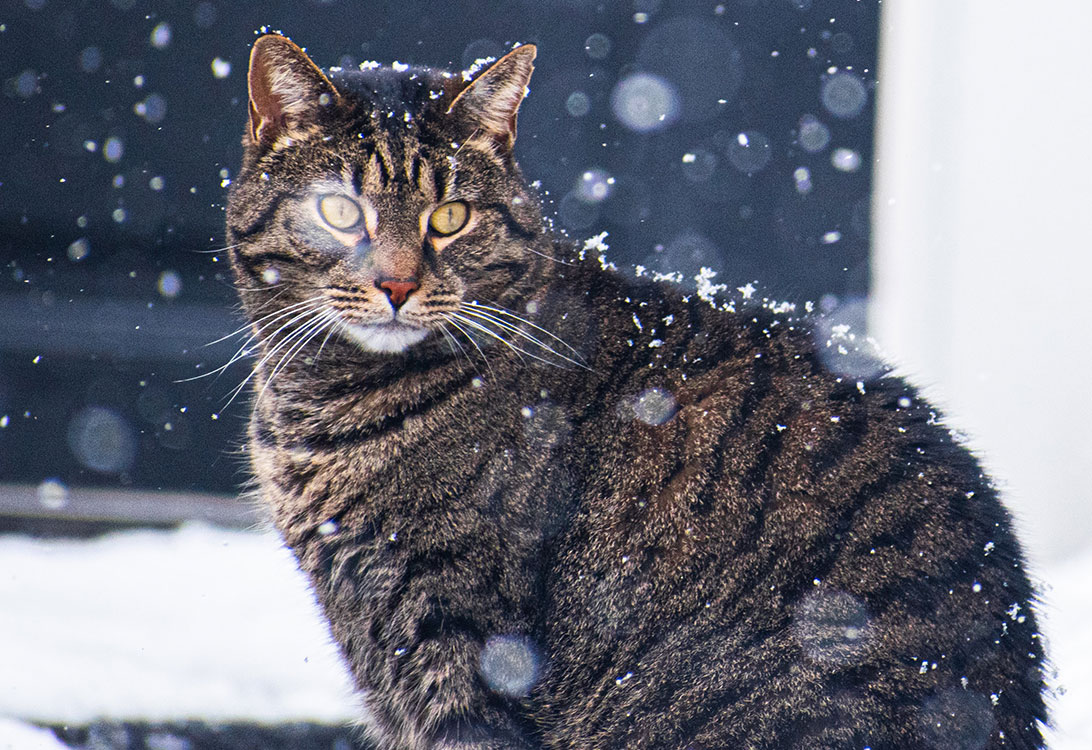 How Cold Is Too Cold For Your Cat To Stay Outside Gallant