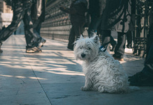 5 Common West Highland White Terriers Health Concerns