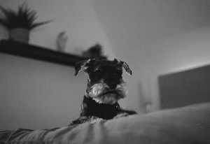 5 Common Miniature Schnauzer Health Concerns
