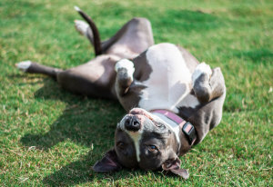 Pit Bull Myths You Should Stop Believing