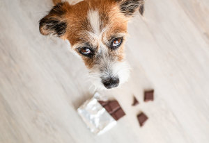 First 2 Hours: My Dog Ate Chocolate