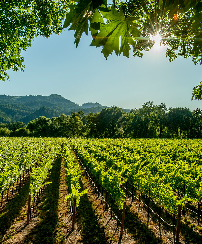 Scenic view of a vineyard in Napa Valley with the sun shining through the leaves