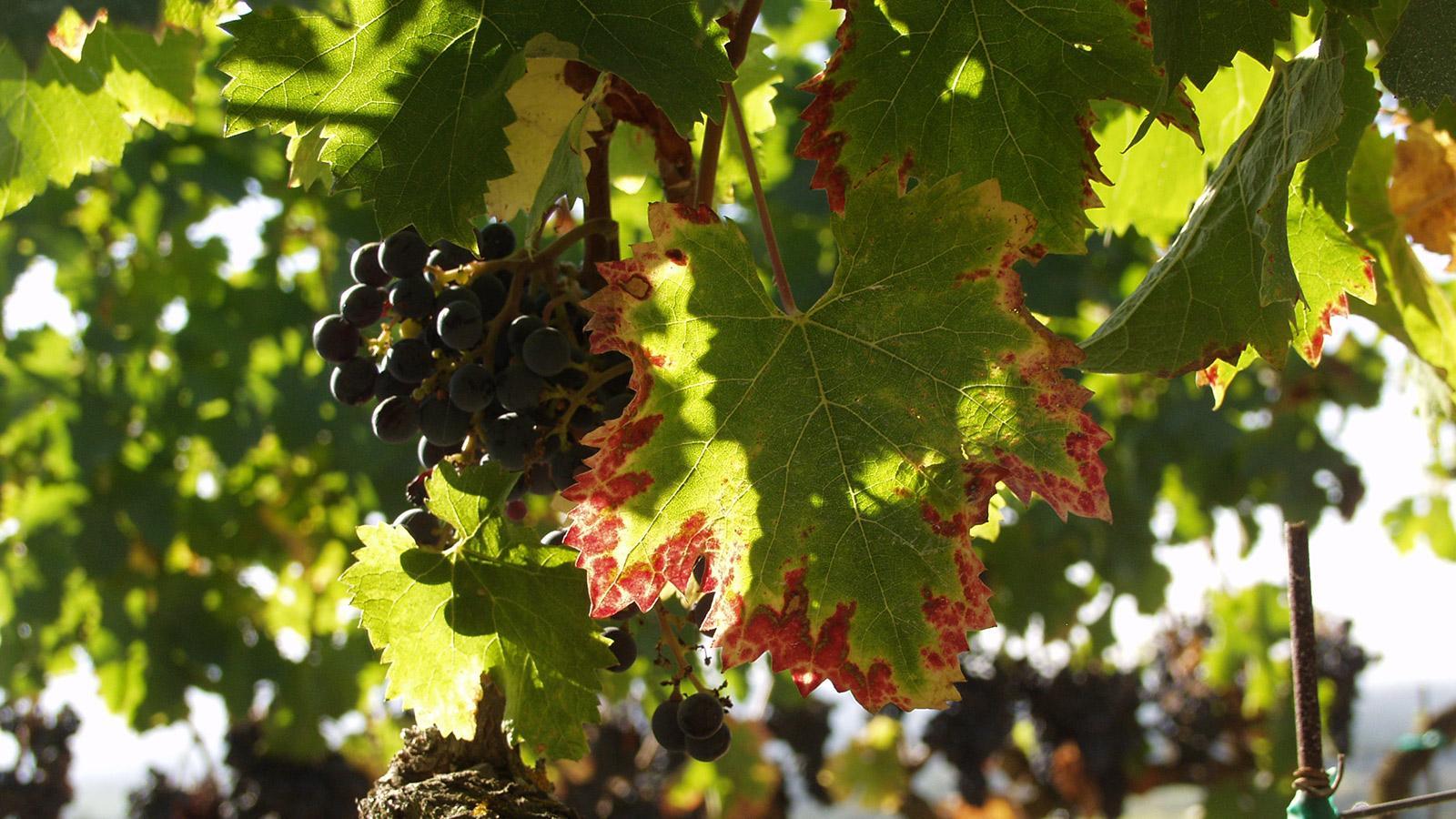 grapes sm