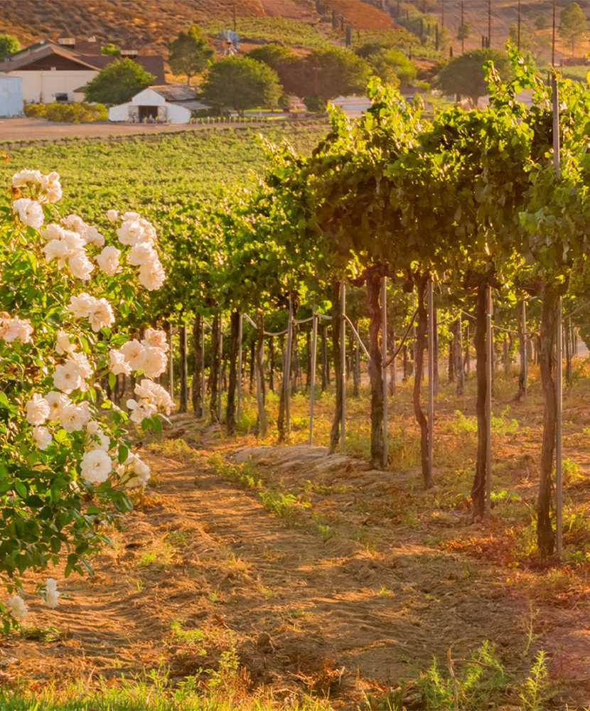 California Wineries Growing Italian Varieties