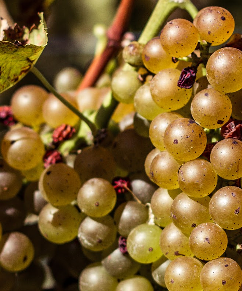 The Voyage of Viognier in the U.S.