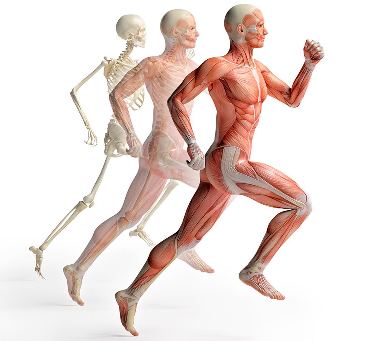 Beste Alle Muskeln Im Körper Bilder - Anatomie Ideen - finotti.info