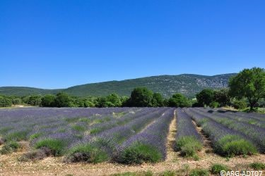 Lavendelfeld Ardèche © ARG-ADT07