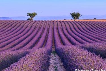 Lavendelrouten © shutterstock - Robert Fesus