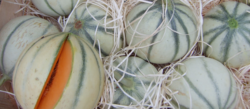 Melon charentais ©wikipedia 800x350