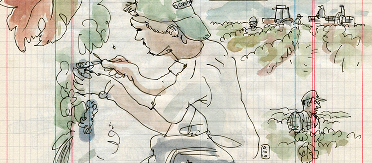 Drawings offer a view of the Saint-Émilion grape harvest