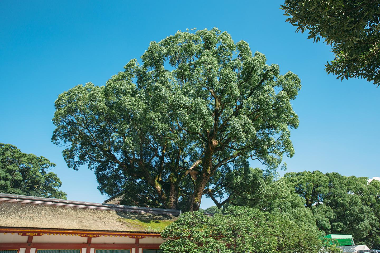 Camphor Trees