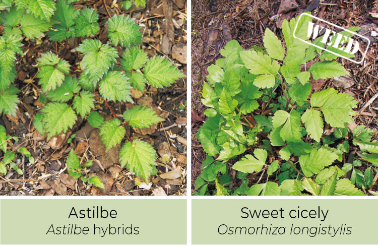 Identifying-weeds-Astilbe-or-Sweet-cicely