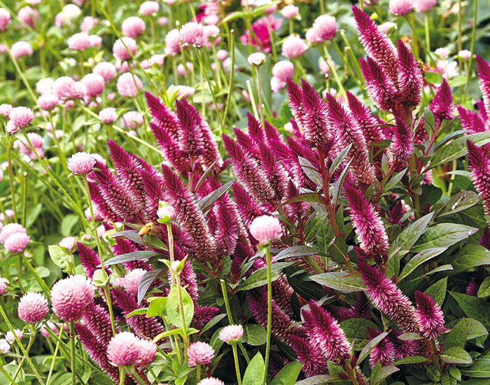 Intenz wheat celosia: The spikey flower shape of Intenz wheat celosia provides a strong shape contrast with the globe amaranth making it a more dynamic combination.