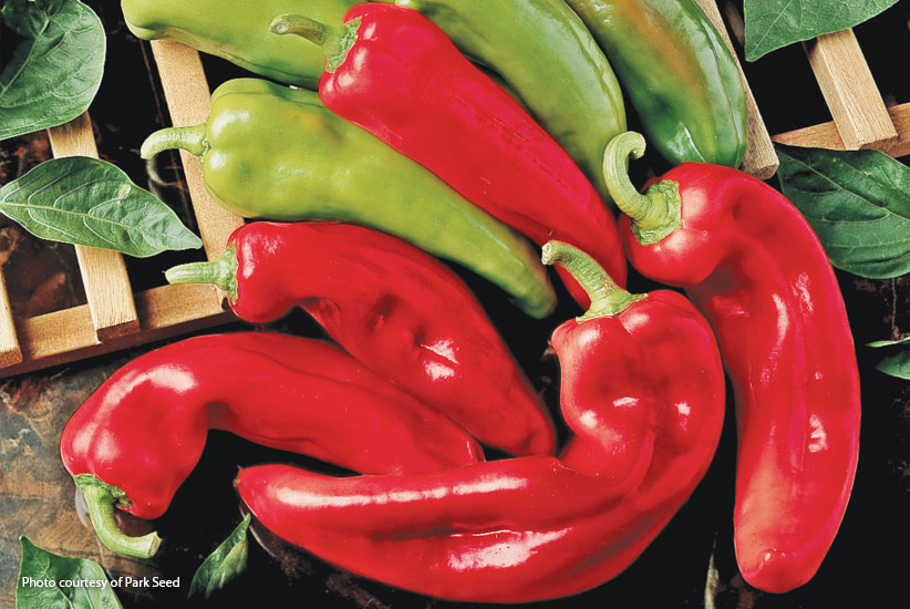 Spicy yet sweet pepper varieity 'Corno di Toro Rosso': 'Corono di Toro Rosso' pepper is an easy vegetable to grow.