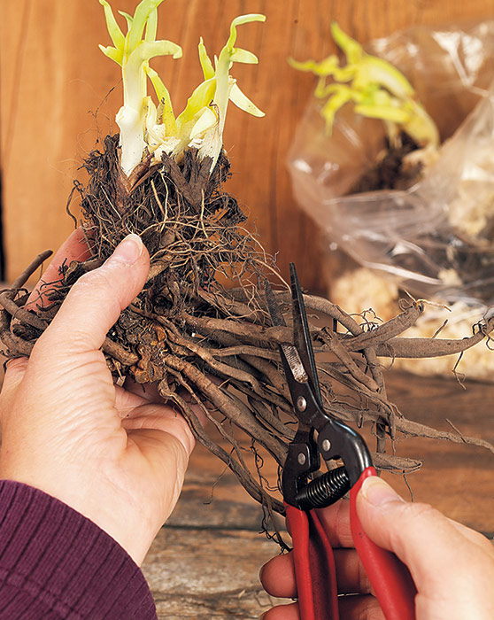 ht-p-bare-root-perennials-pot-or-ground-1