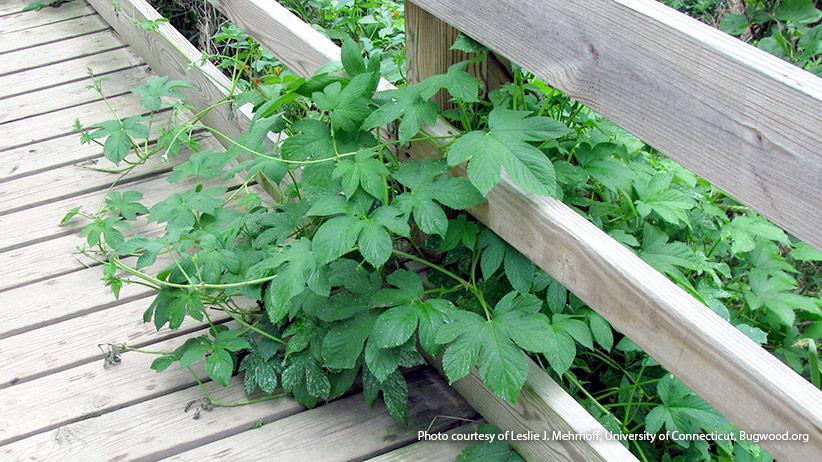 10 Invasive Plants To Avoid In Your Garden Garden Gate